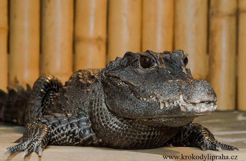 Krokodyli Praha1