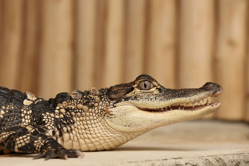 Krokodyli Praha71