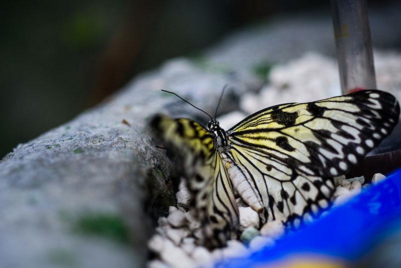 Butterfly Praha Papilonia 8